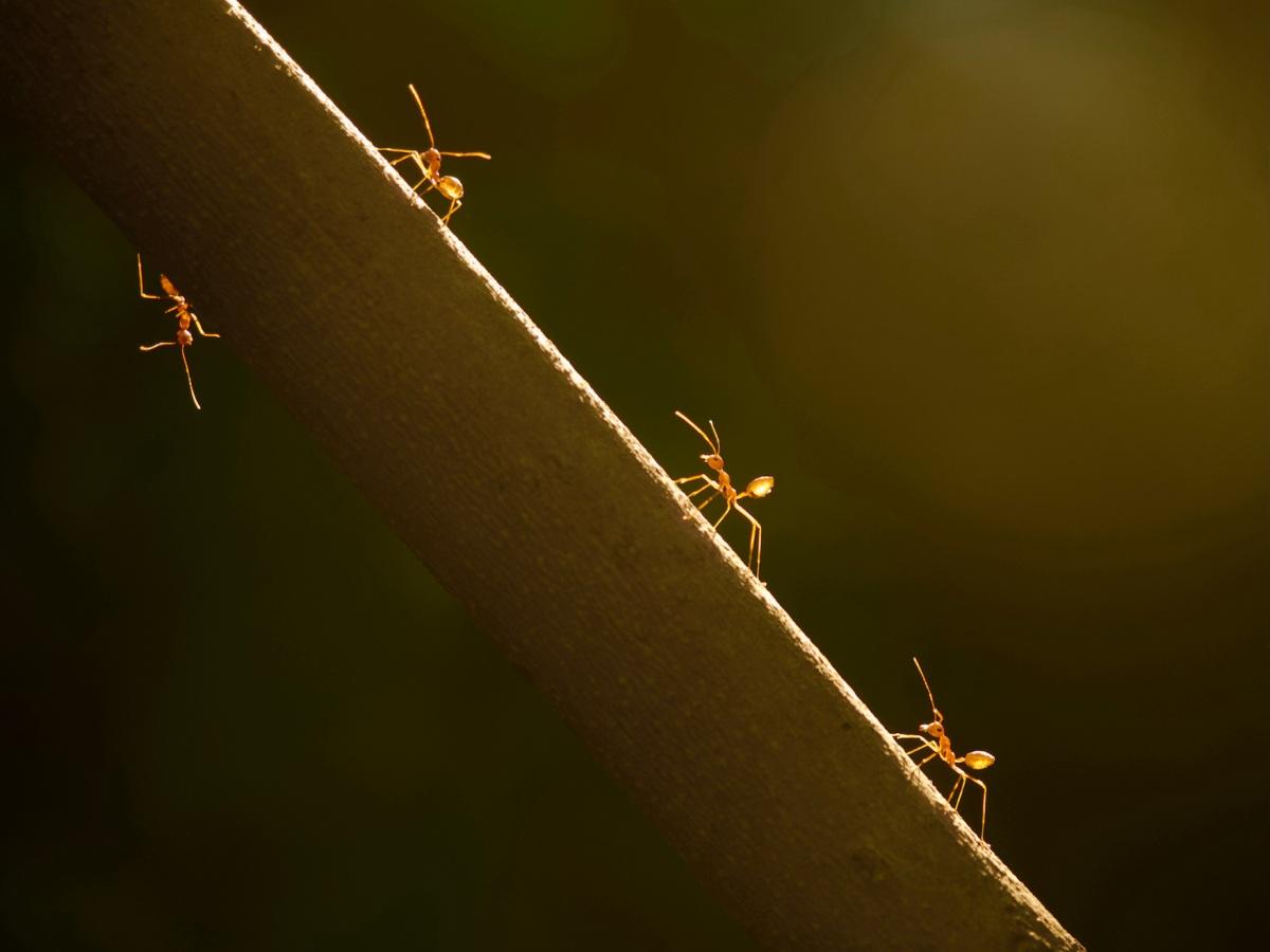 Backlit fire ants