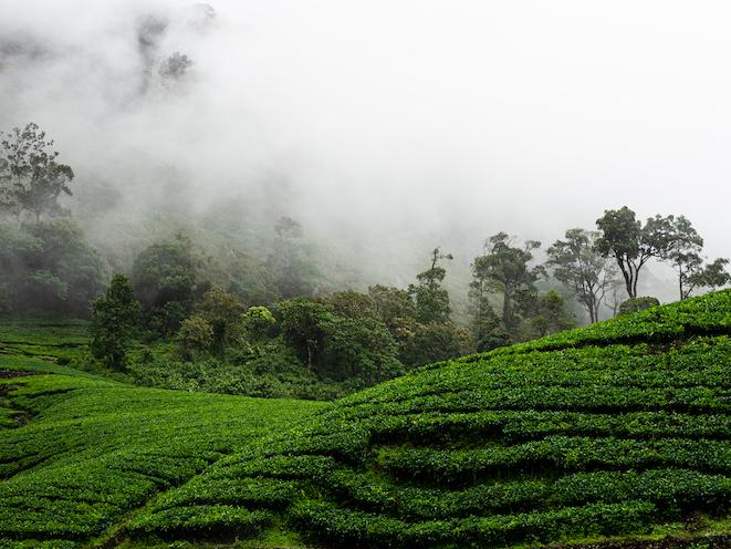 Mist in tea gardens