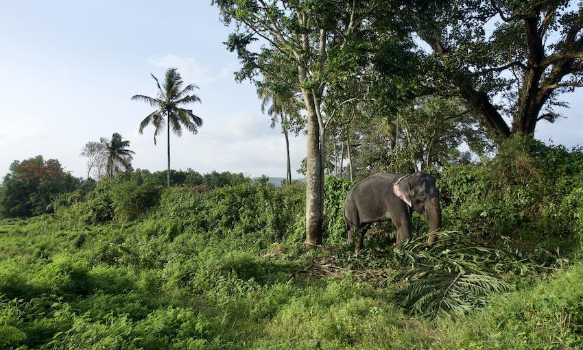 The domesticated elephant Minni
