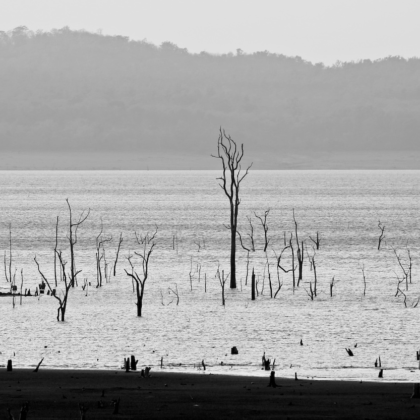 Dead trees in the Bhadra River.