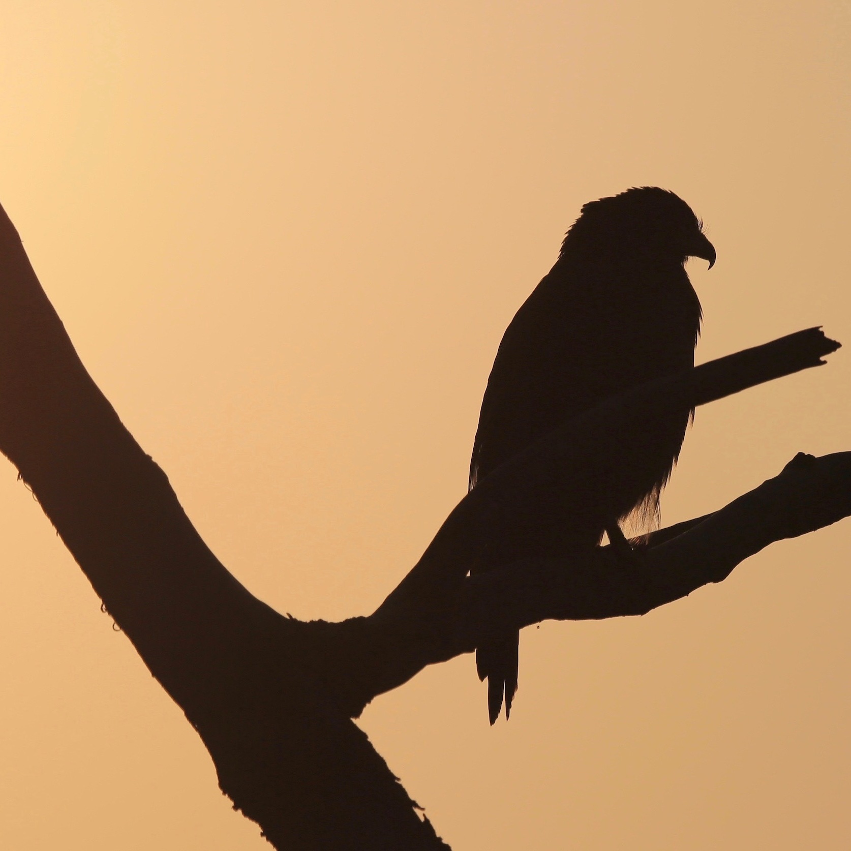 Silhouetted crested serpent eagle on a branch.