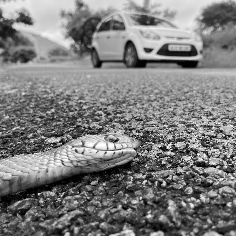 Dead rat snake on the road.