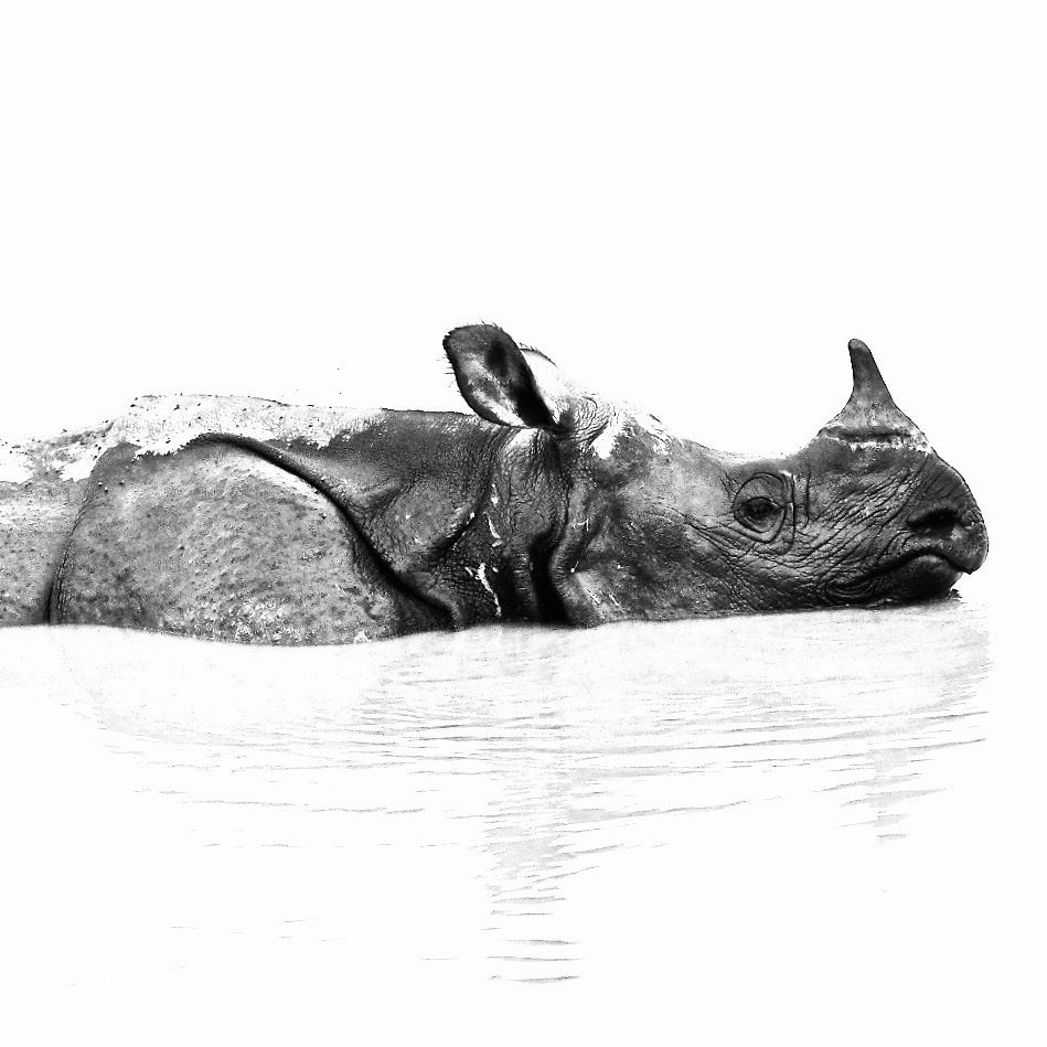 Indian One-horned Rhinoceros half-submerged in water.