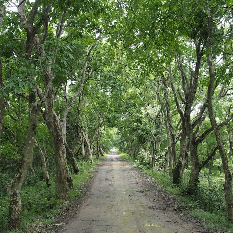 A forest tree tunnel in Kaziranga Tiger Reserve, Assam, India.