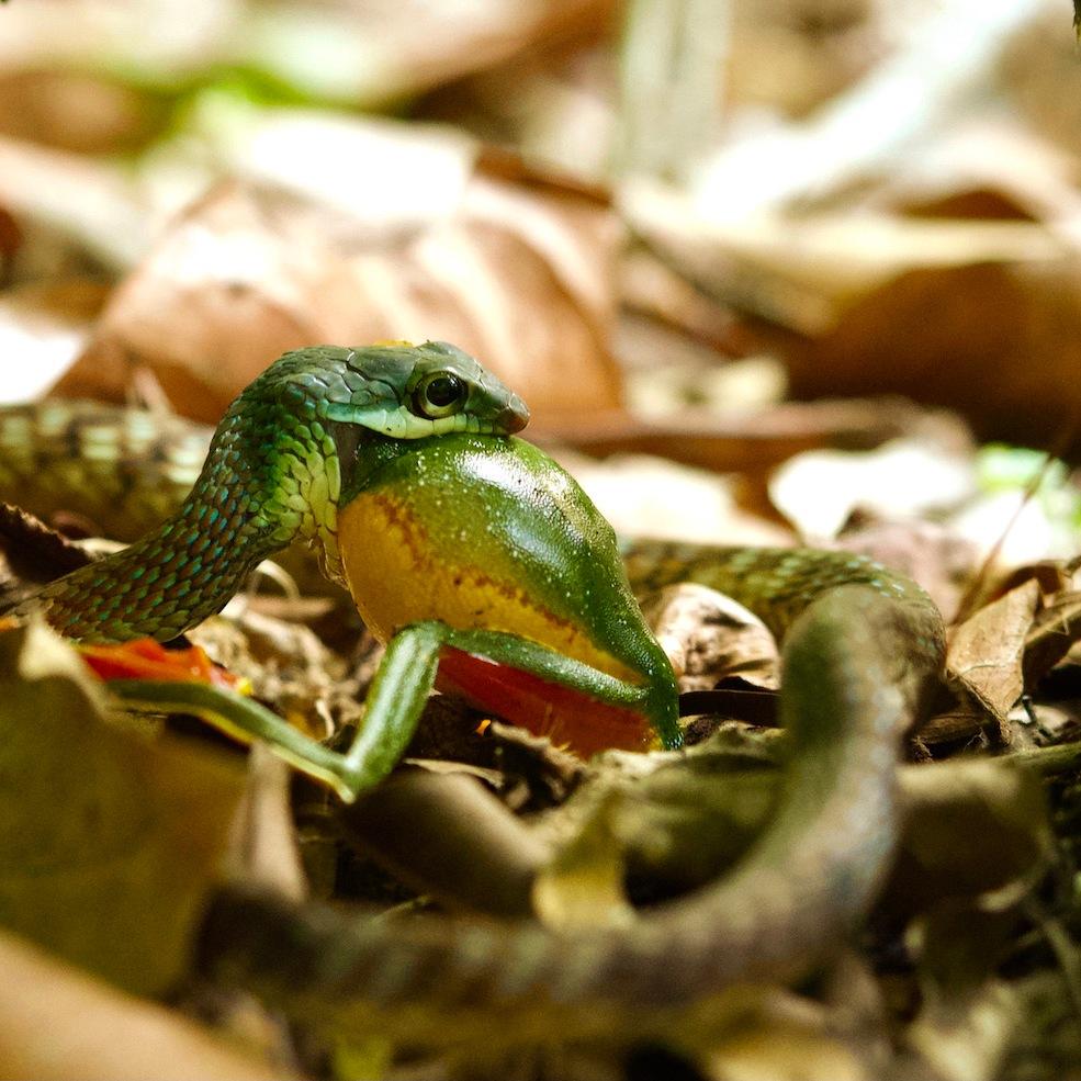 Painted Bronzeback Tree Snake swallowing a Malabar Gliding Frog.
