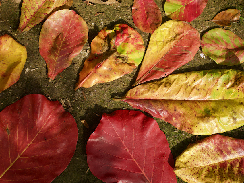 Pink leaves on the ground