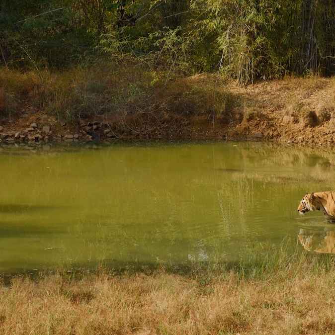 Tiger entering waterhole.