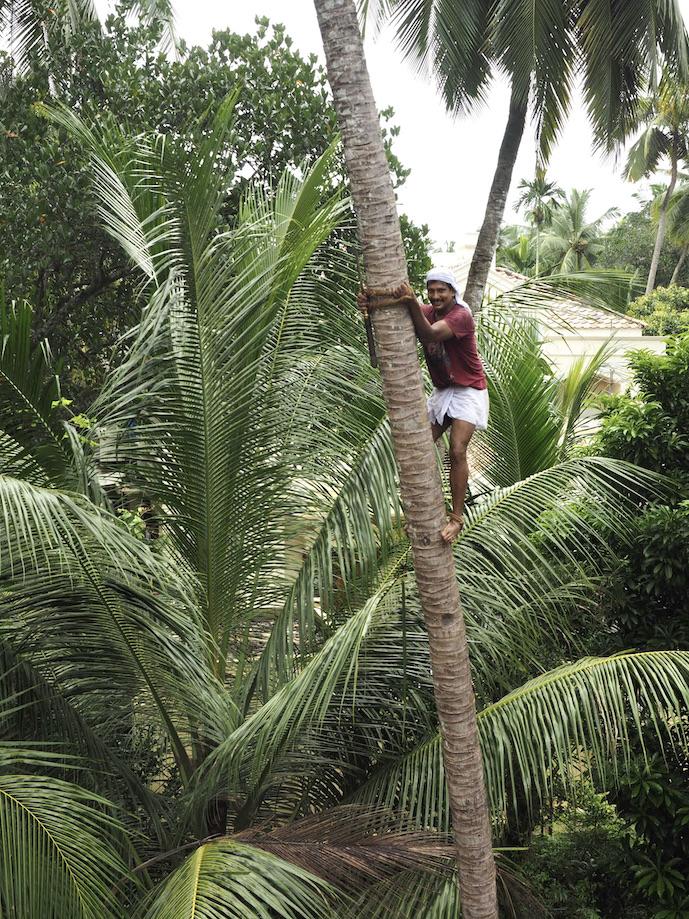A Coconut Tree Climber. Shot in Kozhikode, Kerala, India.