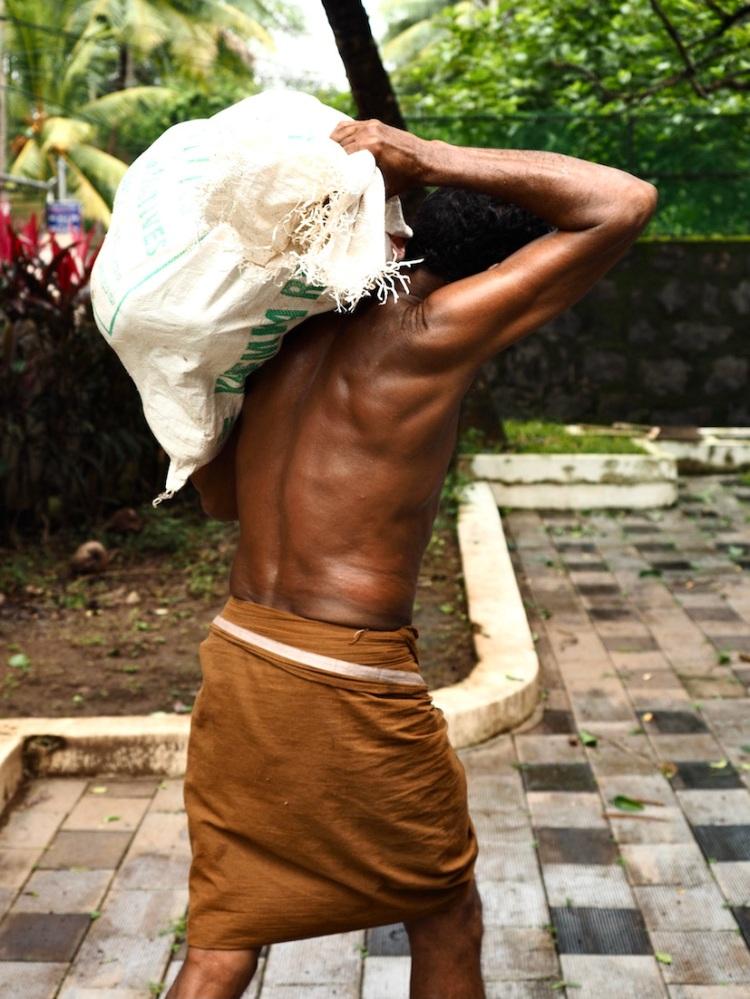 Collecting Coconuts. Shot in Kozhikode, Kerala, India.